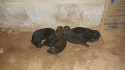 Filhotes de chow chow com labrador