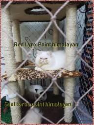 Filhotes de persa himalaia R$900 a vista