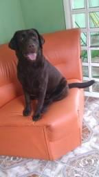 Labradora chocolate fêmea com pedigree