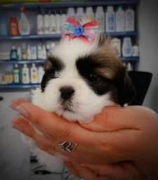 Filhote vacinados com pedigree lhasa