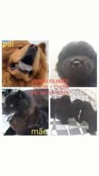 Filhote de Chow chow