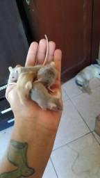 Ratos camudongos