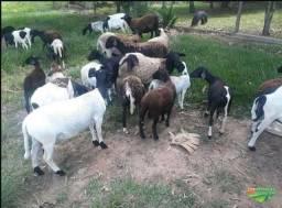 Ovelha, carneiro, borrego, ovinos Dorper / Santa Inêss mestiços