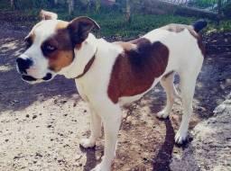 Cachorro raça Boxer pra DOAÇÃO