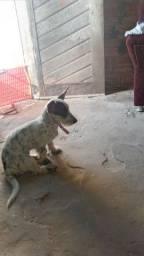 Venda de filhote de basset hound