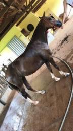 Égua MM, mangalarga