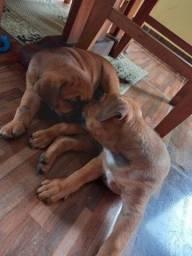 Filhotes de Rottweiler e Pit Bull Misturados