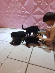 4 rottweiler para venda