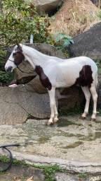 Cavalo Top (Macha picada)