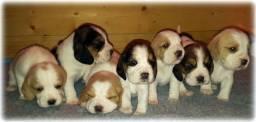 Beagle - Filhotes Bicolor e Tricolor disponiveis