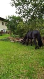 Cavalo criolo registrado.