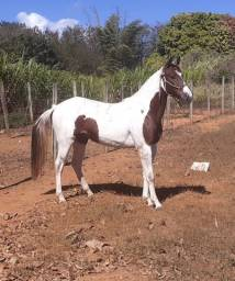Vendo Potra Paint  horse