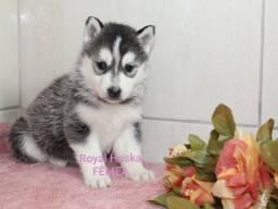Lindos Filhotes de Husky Siberiano Prontos para entrega