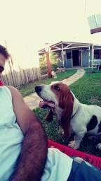 Casal basset hound
