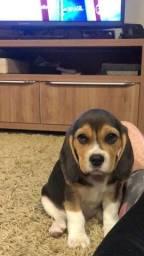 Vende-se linda filhote de beagle tricolor