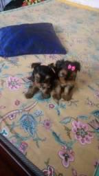 Yorkshire Terrier Bebezinhos
