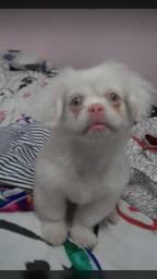 Pequinês Albino (filhote)