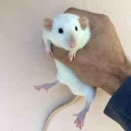 Ratos Dumbos