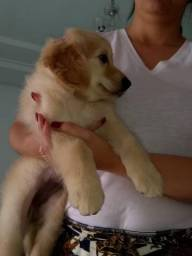 Linda Golden Retriever 2 meses e meio