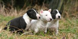 Bull terrier - Filhotes de porte / pedigree/ assistência veterinária/ Disponíveis lindos