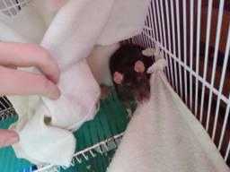 Doação duas ratas Twister