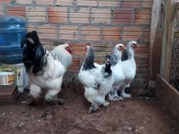 Ovos galados de raça Brama