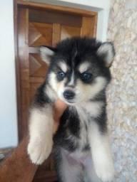 Vendo Husky Siberiano em ate 12x
