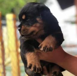 Rottweiler Filhotes lindos e saudáveis e consulta veterinária gratuita 11.9109.11758