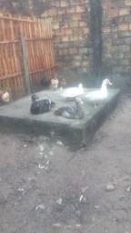 Vendo 1 casal de patos