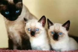 Gatos Siam ês Lindos Filhotes
