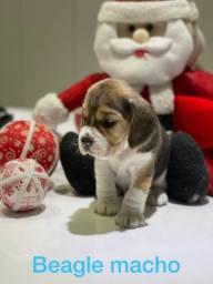 Fofura que fala beagle