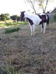 Cavalo, Puro de origem, 7 anos, macho, pelagem castanho/tobiano