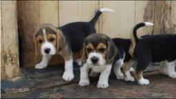 Beagle Filhotinhos Vacinados super fofos