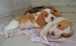 Beagle, filhote, Recife