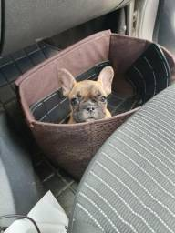 Bulldog Francês mini