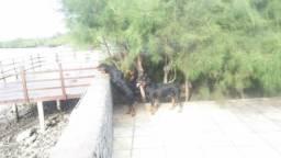 Rottweiler c/pedigree macho - cruzamento