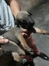 Filhotes de Rottweller e Labrador (ABAIXEI O PREÇO PRA VIM PEGAR HJ)