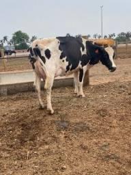 Vacas leiteira