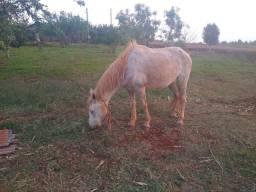 Cavalo manso.