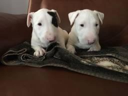 Filhotes de Bull Terrier Fêmea e macho disponível!!