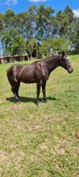 Vendo egua meio sangue filha do famoso cavalo Stone