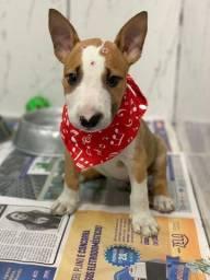 Filhote de Bull Terrier disponível para sua felicidade