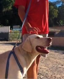Labrador macho para cruza