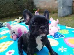 lindos filhotes bulldog frances  R$ 1.900,00  12x no cartão