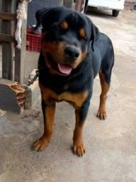 Rottweiler disponível pra cruzamento