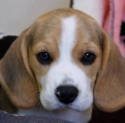 ## 13 Polegadas! Beagle Filhote com Pedigree Garantia