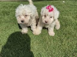 Poodle toy fêmea e macho