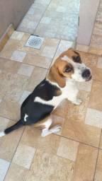Venda Beagle