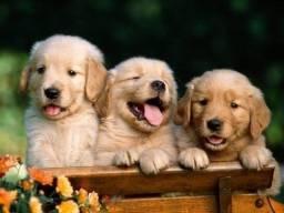 golden - os filhotes mais lindos disponiveis!!!