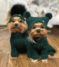 Yorkshire Terrier fêmeas disponível ....